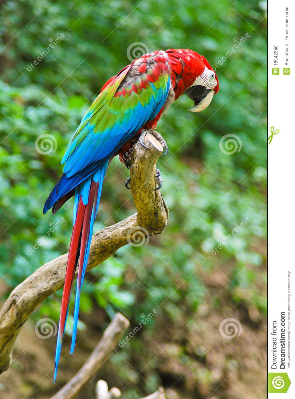 Red-and-green Macaw clipart #12, Download drawings