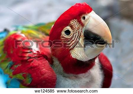 Red-and-green Macaw clipart #11, Download drawings