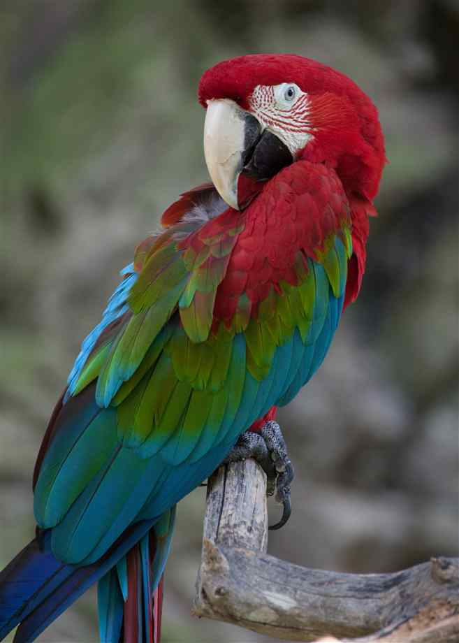 Red-and-green Macaw clipart #1, Download drawings