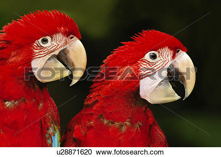 Red-and-green Macaw clipart #5, Download drawings