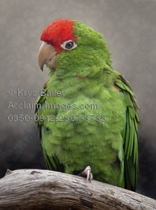 Red-and-green Macaw clipart #18, Download drawings