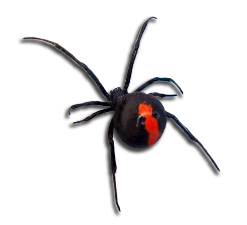 Redback Spider clipart #4, Download drawings