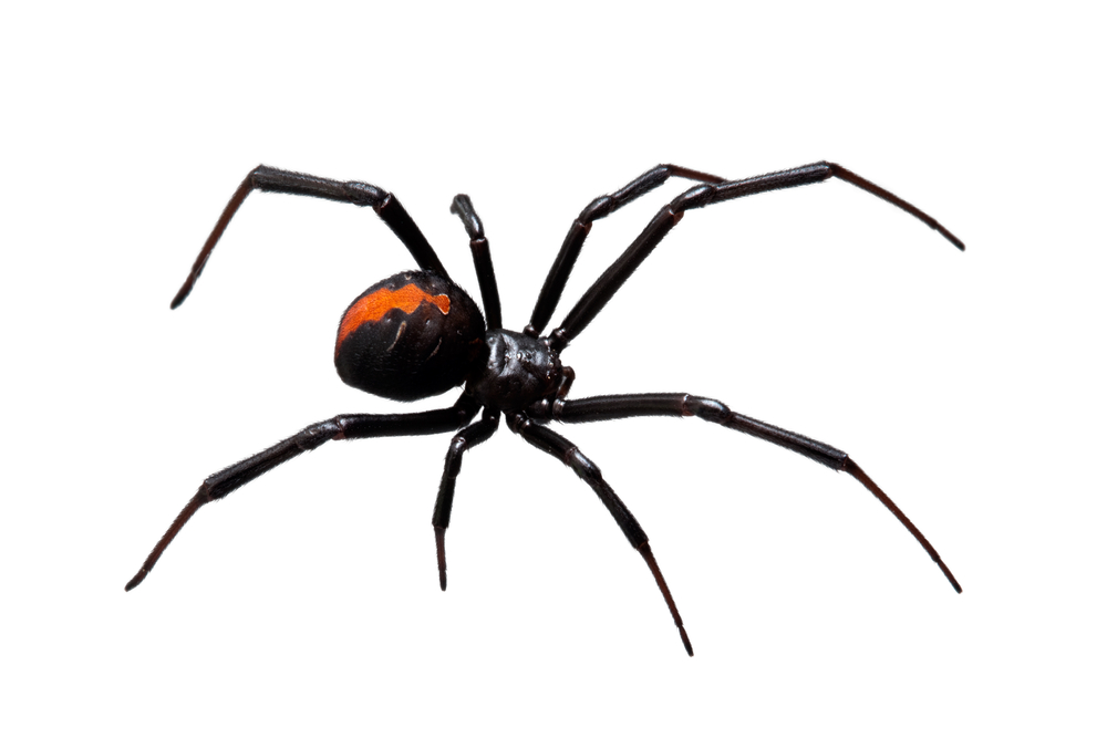 Redback Spider clipart #3, Download drawings