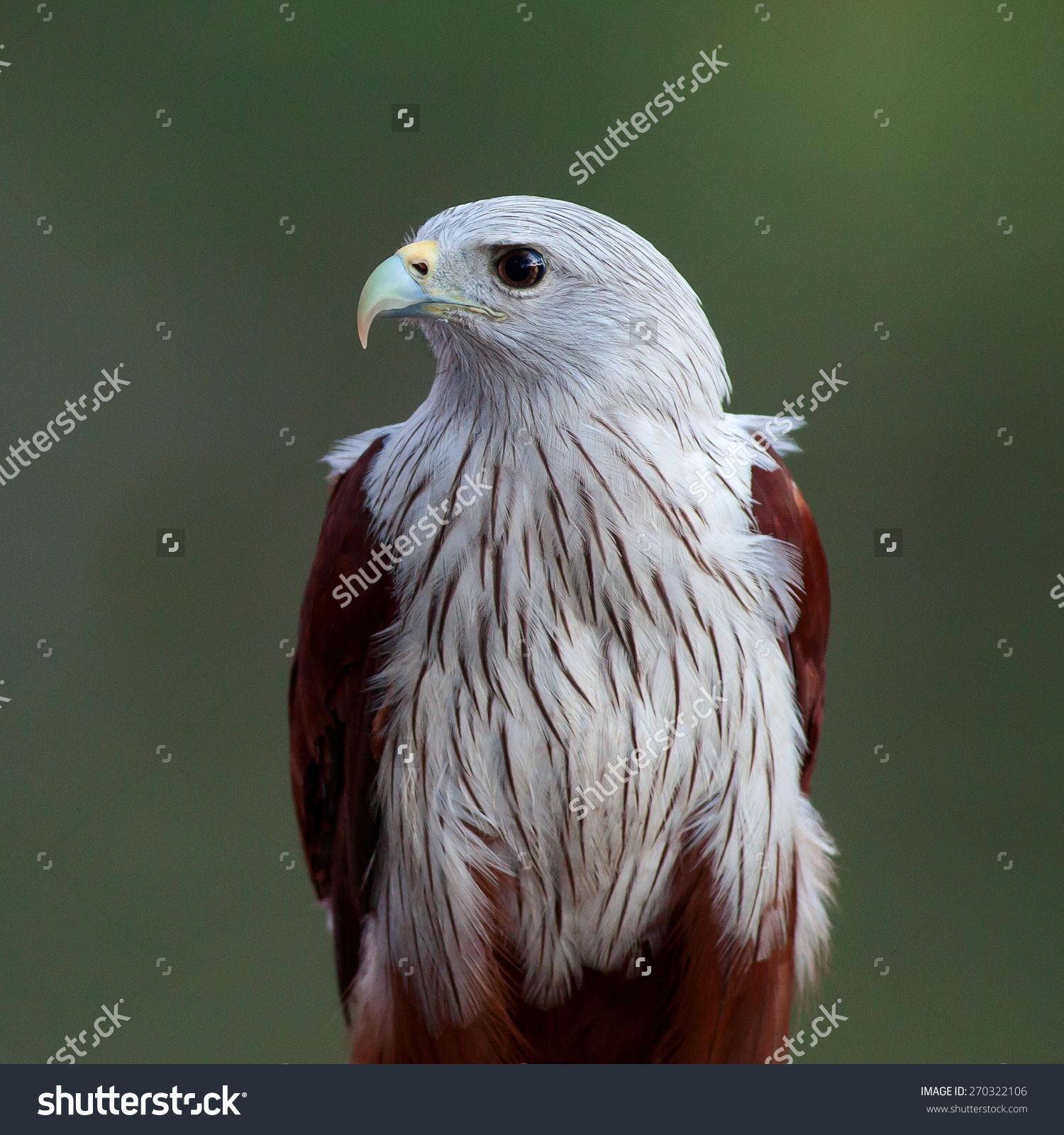 Red-backed Sea-eagle clipart #3, Download drawings