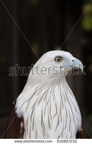 Red-backed Sea-eagle clipart #11, Download drawings