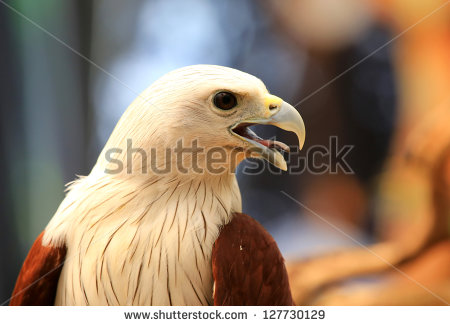 Red-backed Sea-eagle clipart #9, Download drawings