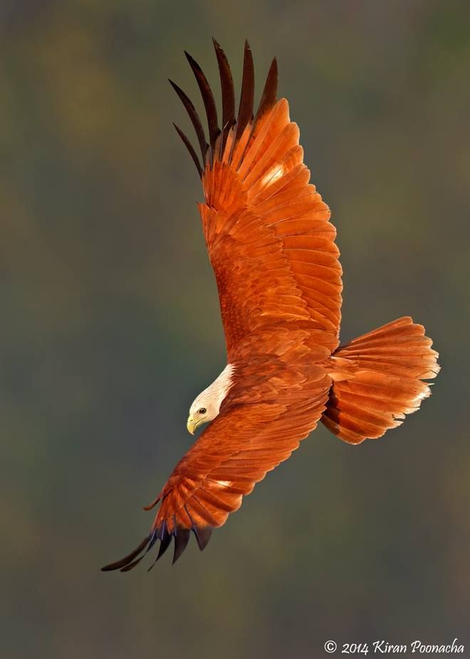 Red-backed Sea-eagle clipart #2, Download drawings