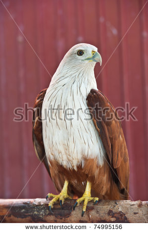 Red-backed Sea-eagle clipart #5, Download drawings