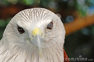 Red-backed Sea-eagle clipart #8, Download drawings