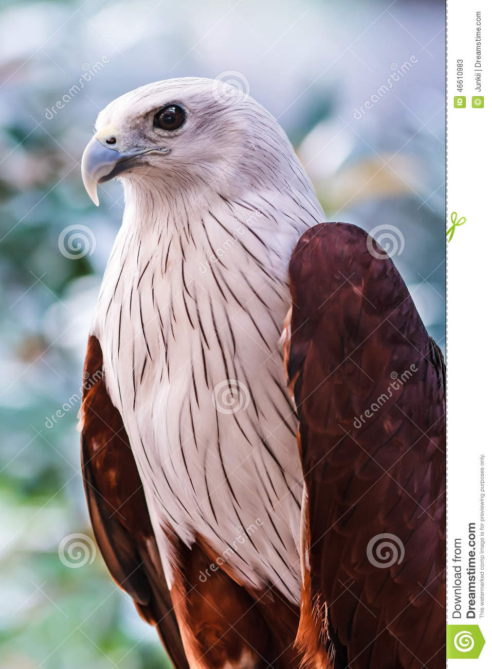 Red-backed Sea-eagle clipart #19, Download drawings
