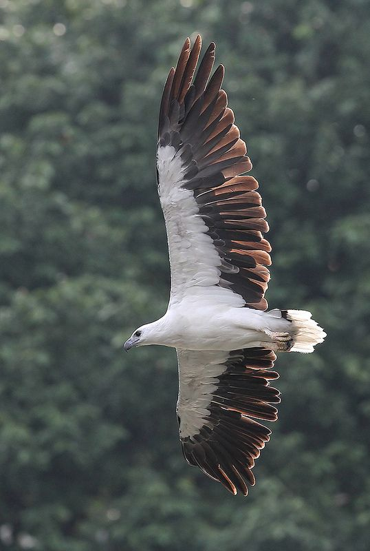 White-bellied Sea Eagle svg #9, Download drawings