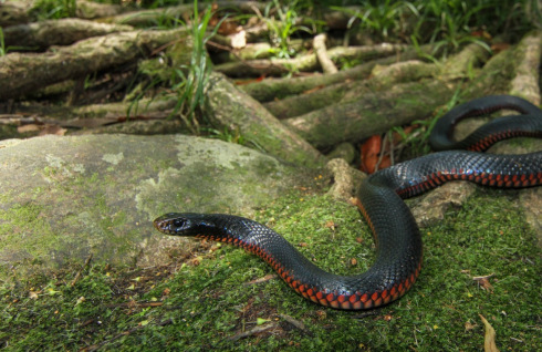Red-bellied Black Snake clipart #18, Download drawings