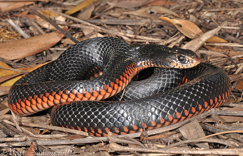 Red-bellied Black Snake clipart #3, Download drawings