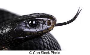 Red-bellied Black Snake clipart #16, Download drawings