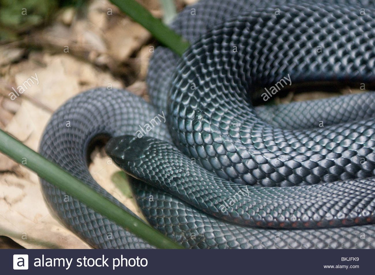 Red-bellied Black Snake clipart #11, Download drawings