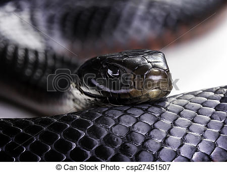Red-bellied Black Snake clipart #12, Download drawings