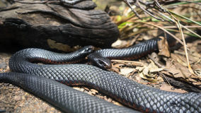 Red-bellied Black Snake clipart #15, Download drawings