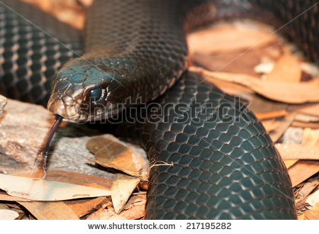 Red-bellied Black Snake clipart #2, Download drawings