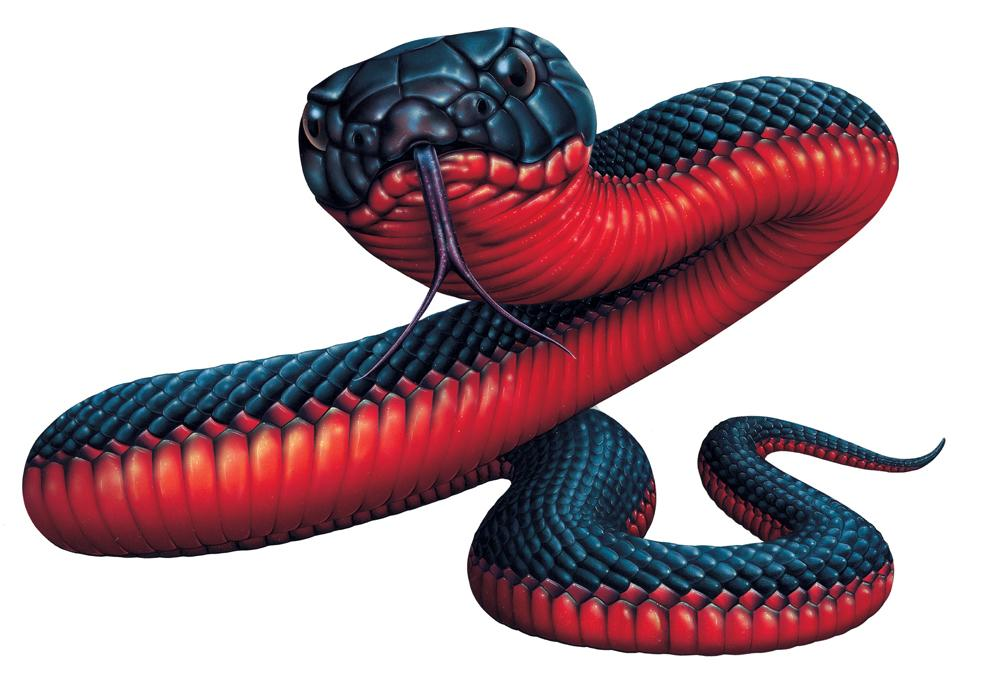 Red-bellied Black Snake clipart #10, Download drawings