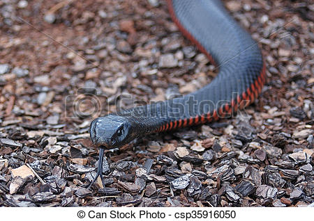 Red-bellied Black Snake clipart #4, Download drawings