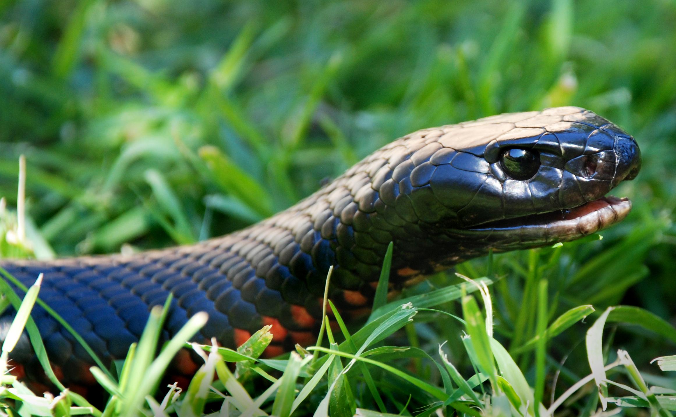 Red-bellied Black Snake coloring #14, Download drawings
