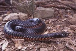 Red-bellied Black Snake coloring #3, Download drawings