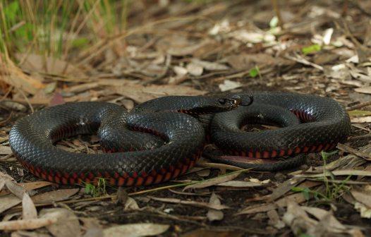 Red-bellied Black Snake coloring #2, Download drawings