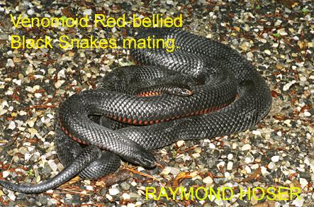 Red-bellied Black Snake coloring #1, Download drawings