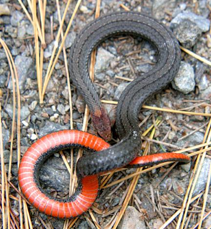 Red-bellied Black Snake coloring #13, Download drawings