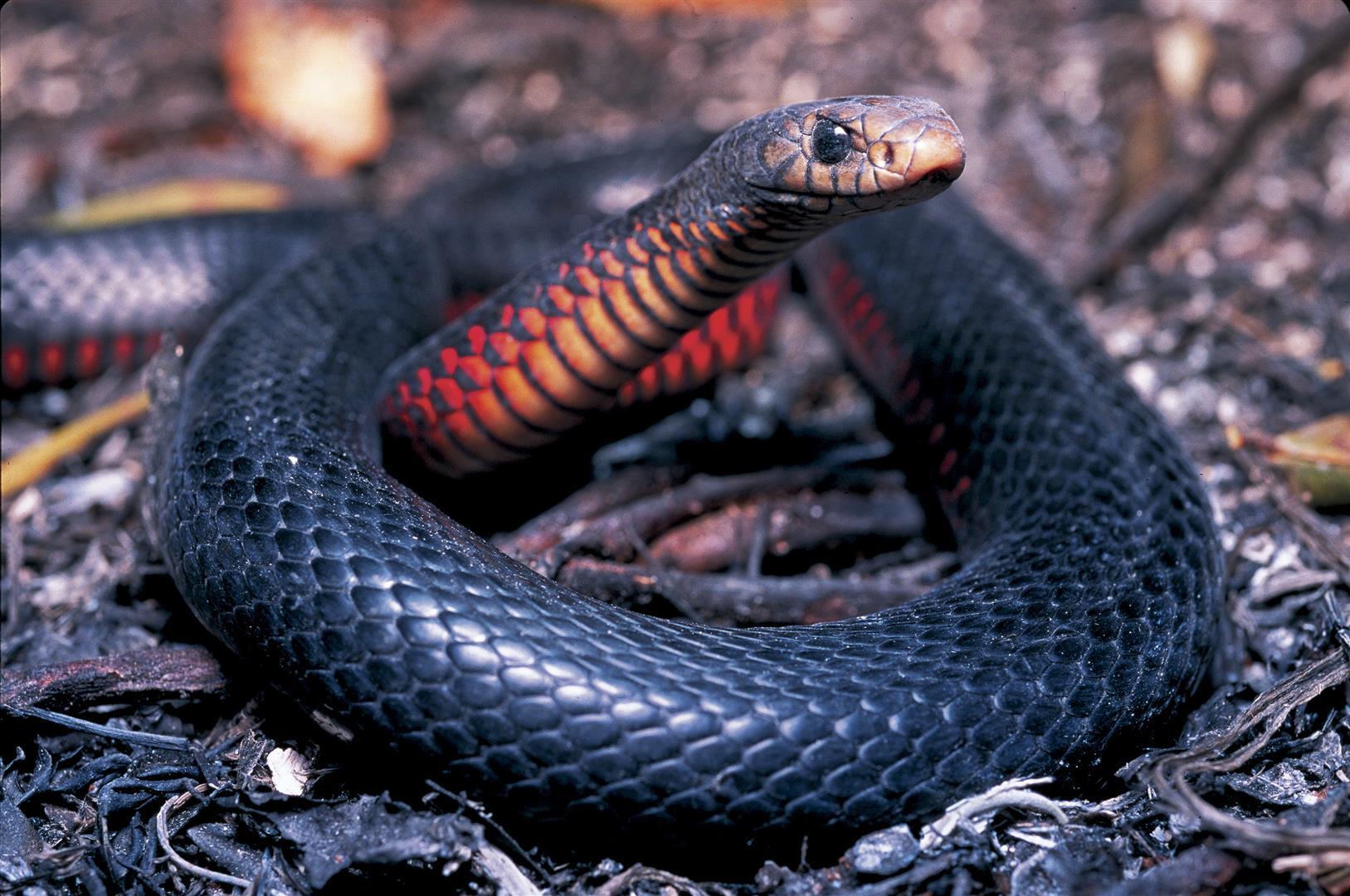 Red-bellied Black Snake coloring #12, Download drawings