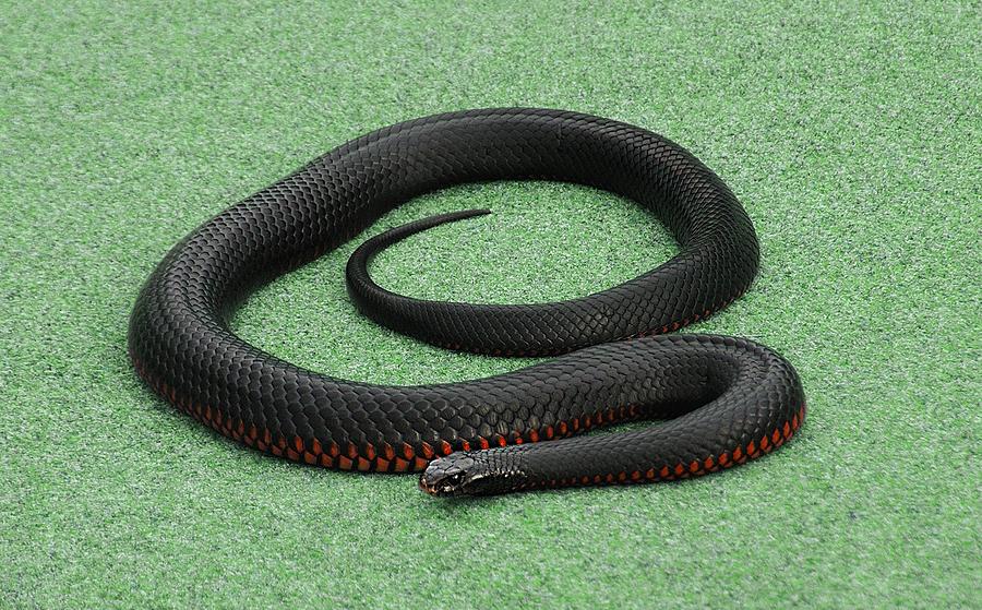 Red-bellied Black Snake coloring #10, Download drawings