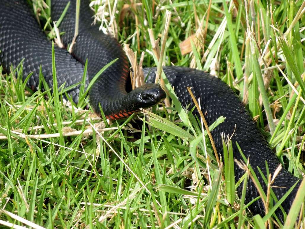 Red-bellied Black Snake coloring #5, Download drawings