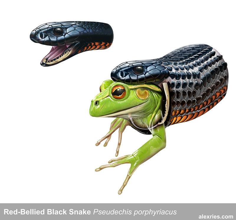 Red-bellied Black Snake coloring #16, Download drawings