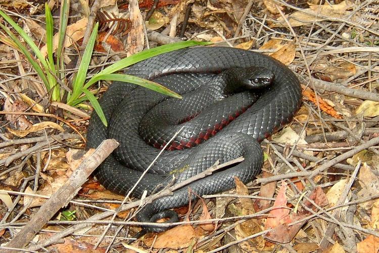 Red-bellied Black Snake coloring #4, Download drawings