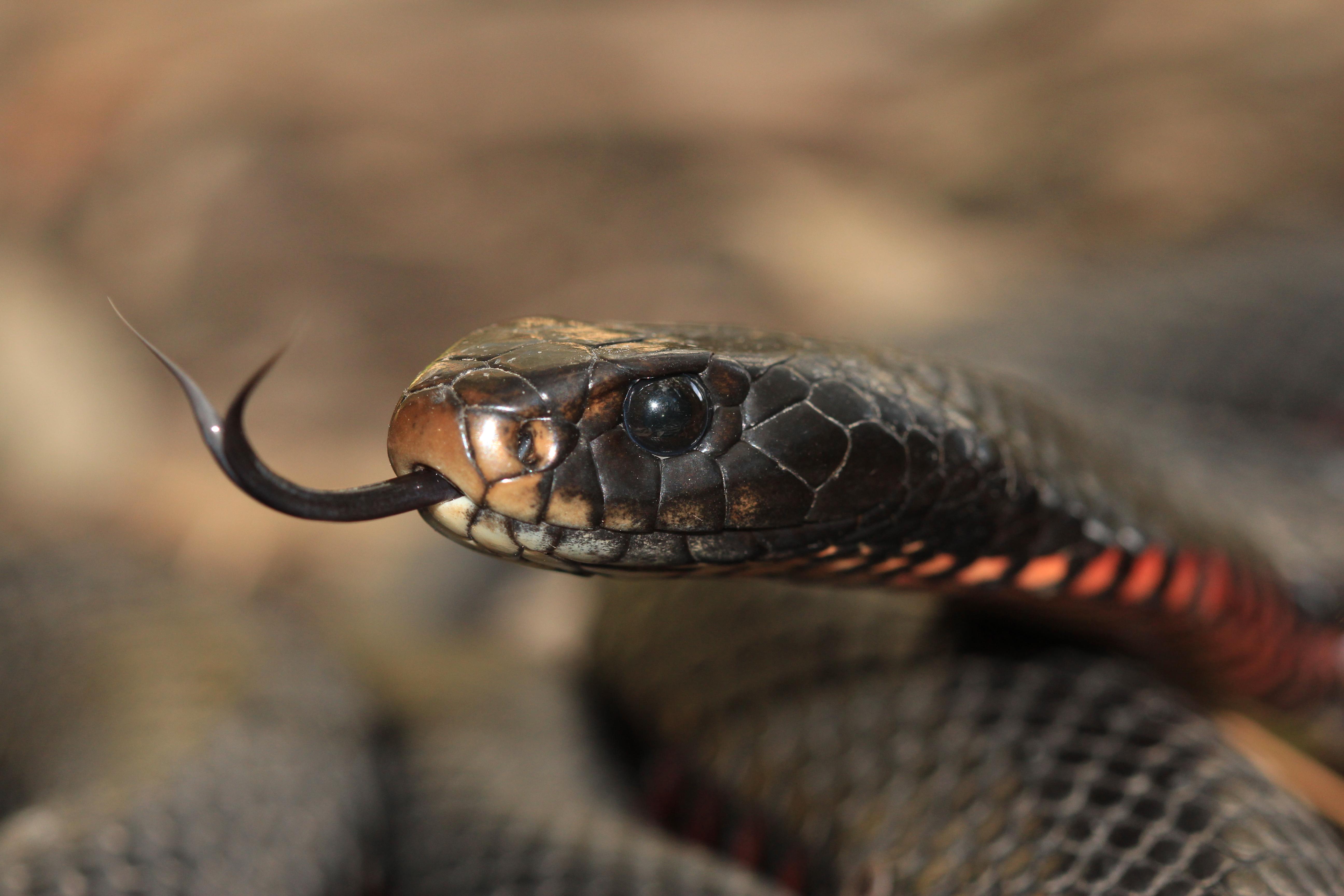 Red-bellied Black Snake svg #5, Download drawings