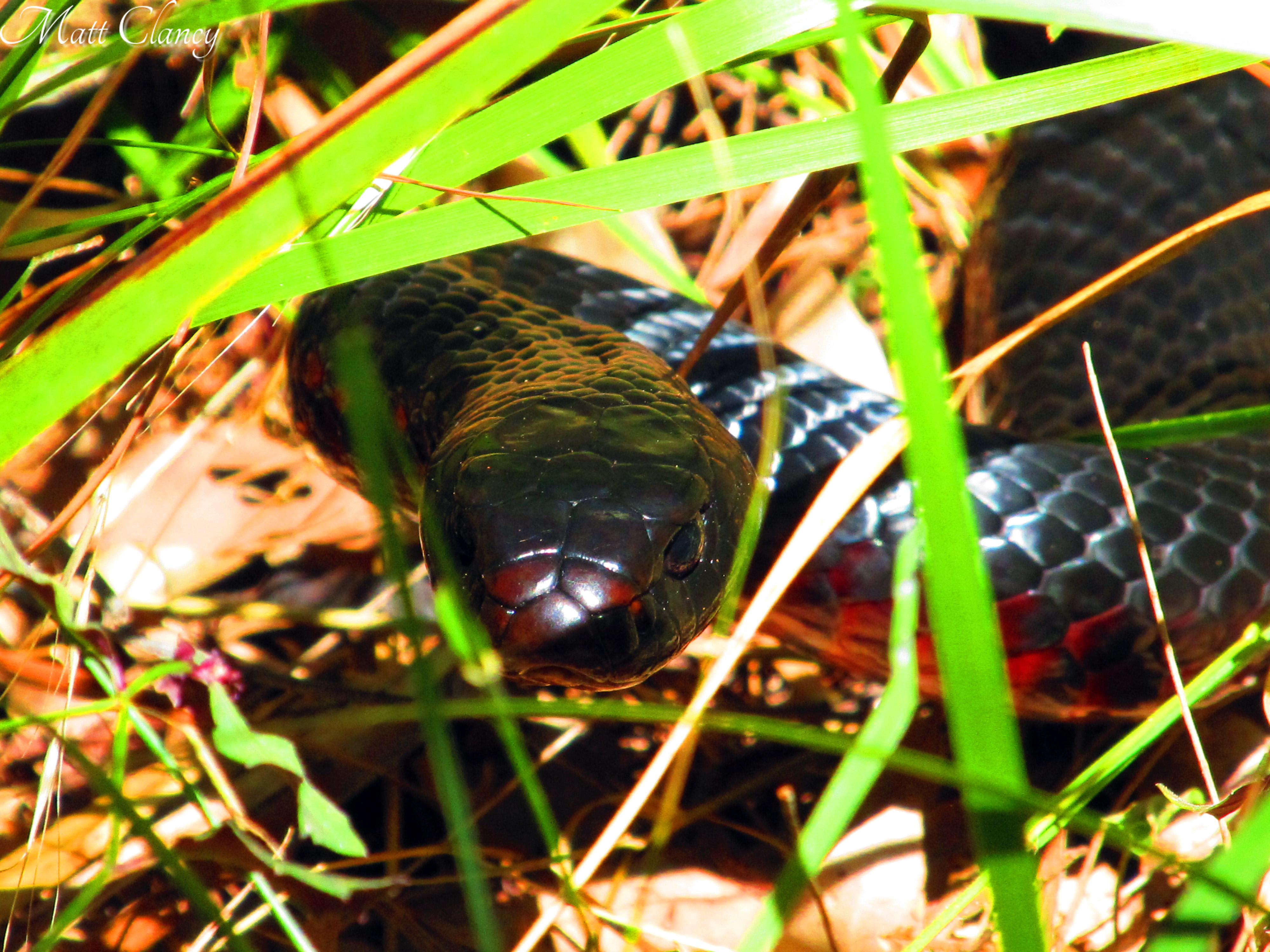 Red-bellied Black Snake svg #1, Download drawings