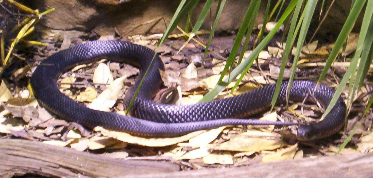 Red-bellied Black Snake svg #19, Download drawings