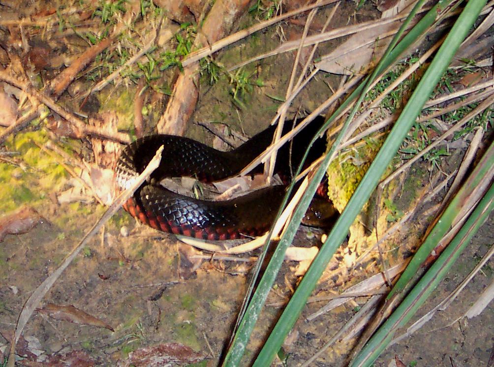 Red-bellied Black Snake svg #17, Download drawings