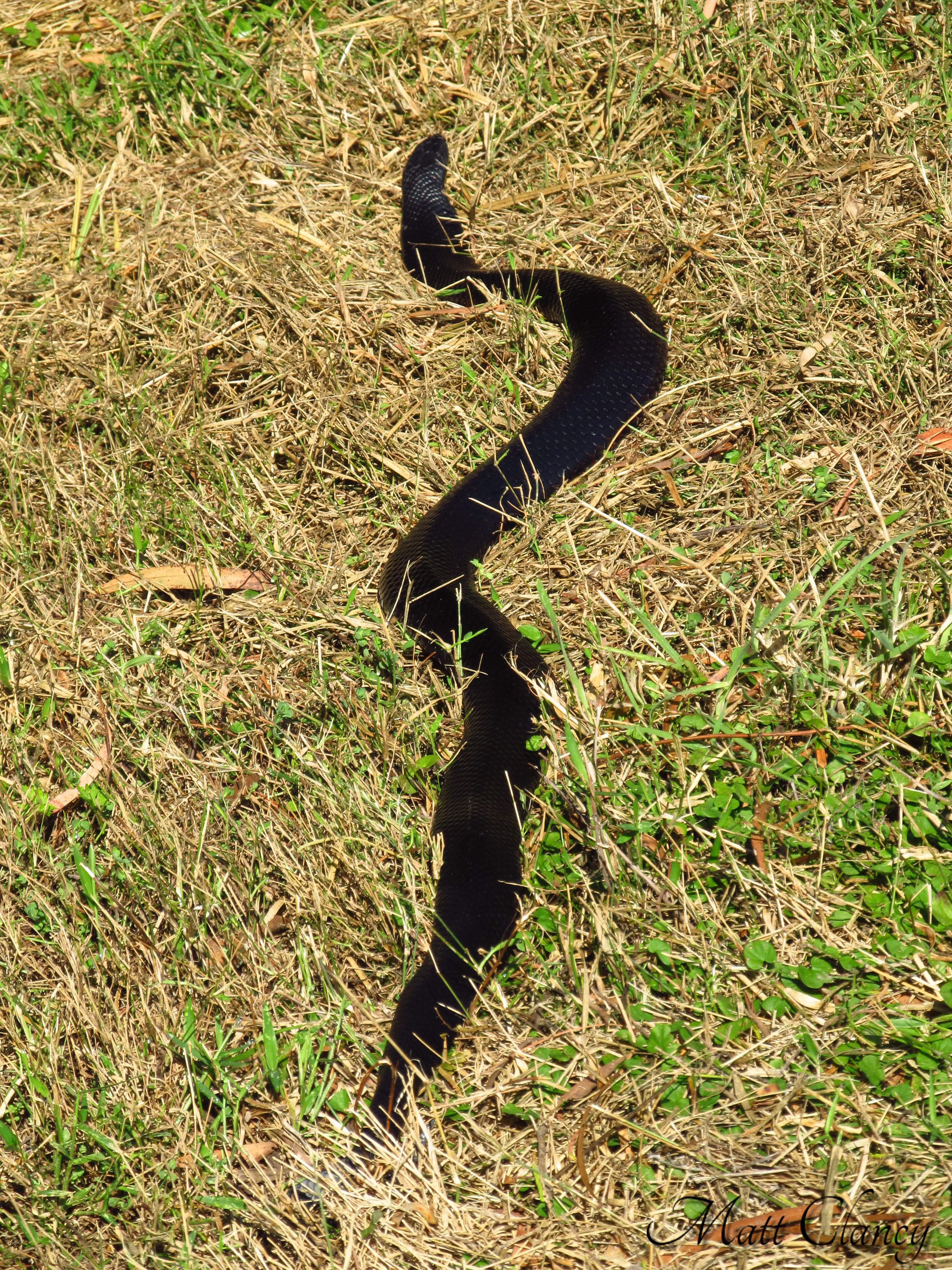 Red-bellied Black Snake svg #6, Download drawings