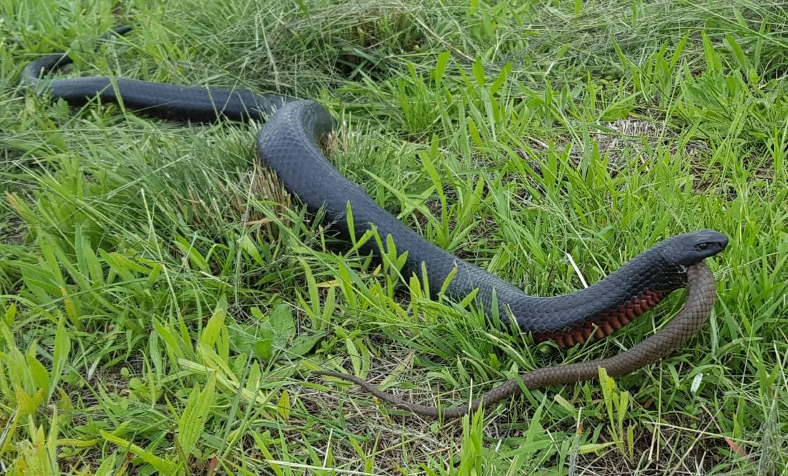 Red-bellied Black Snake svg #15, Download drawings