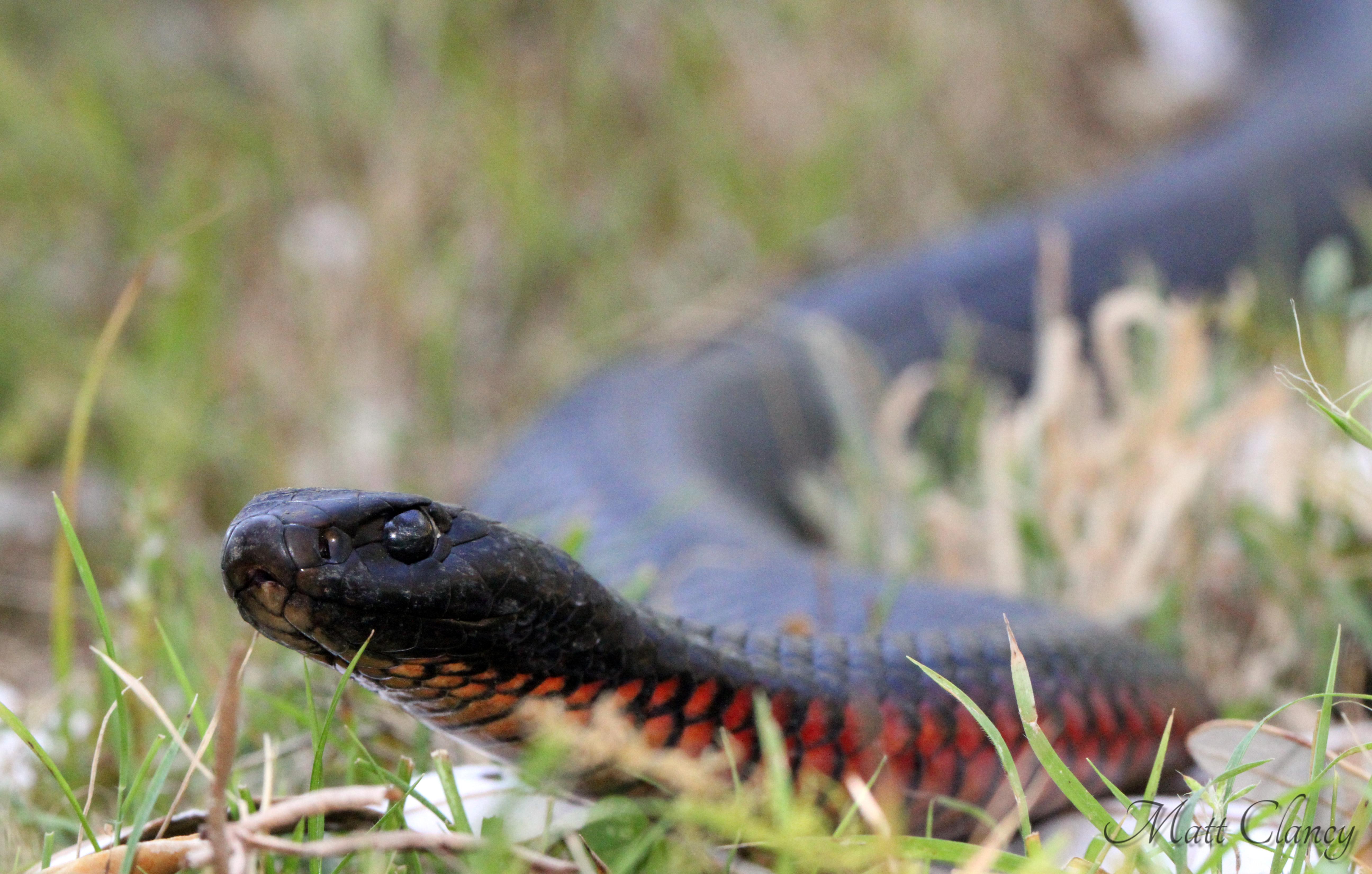 Red-bellied Black Snake svg #7, Download drawings