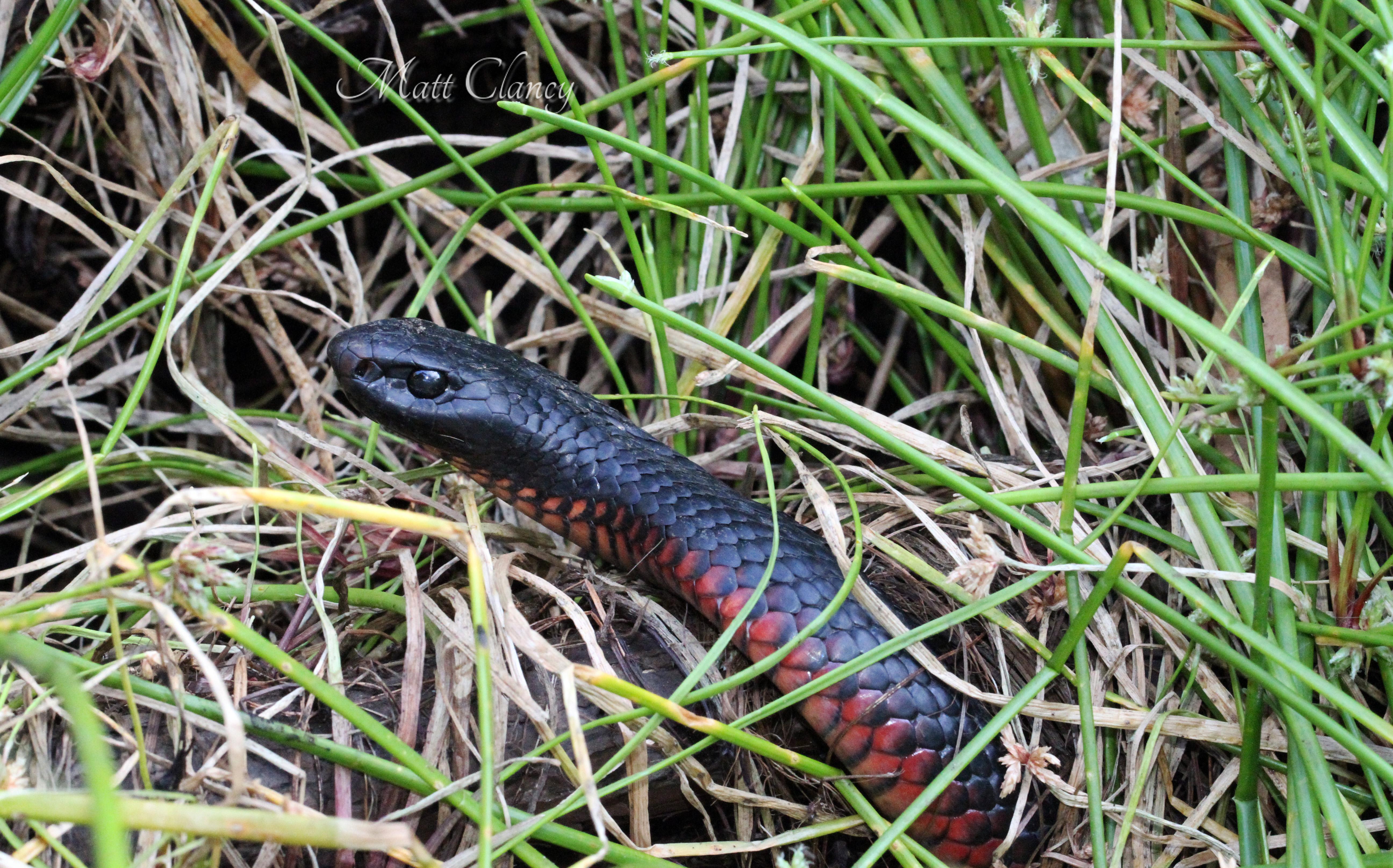 Red-bellied Black Snake svg #8, Download drawings