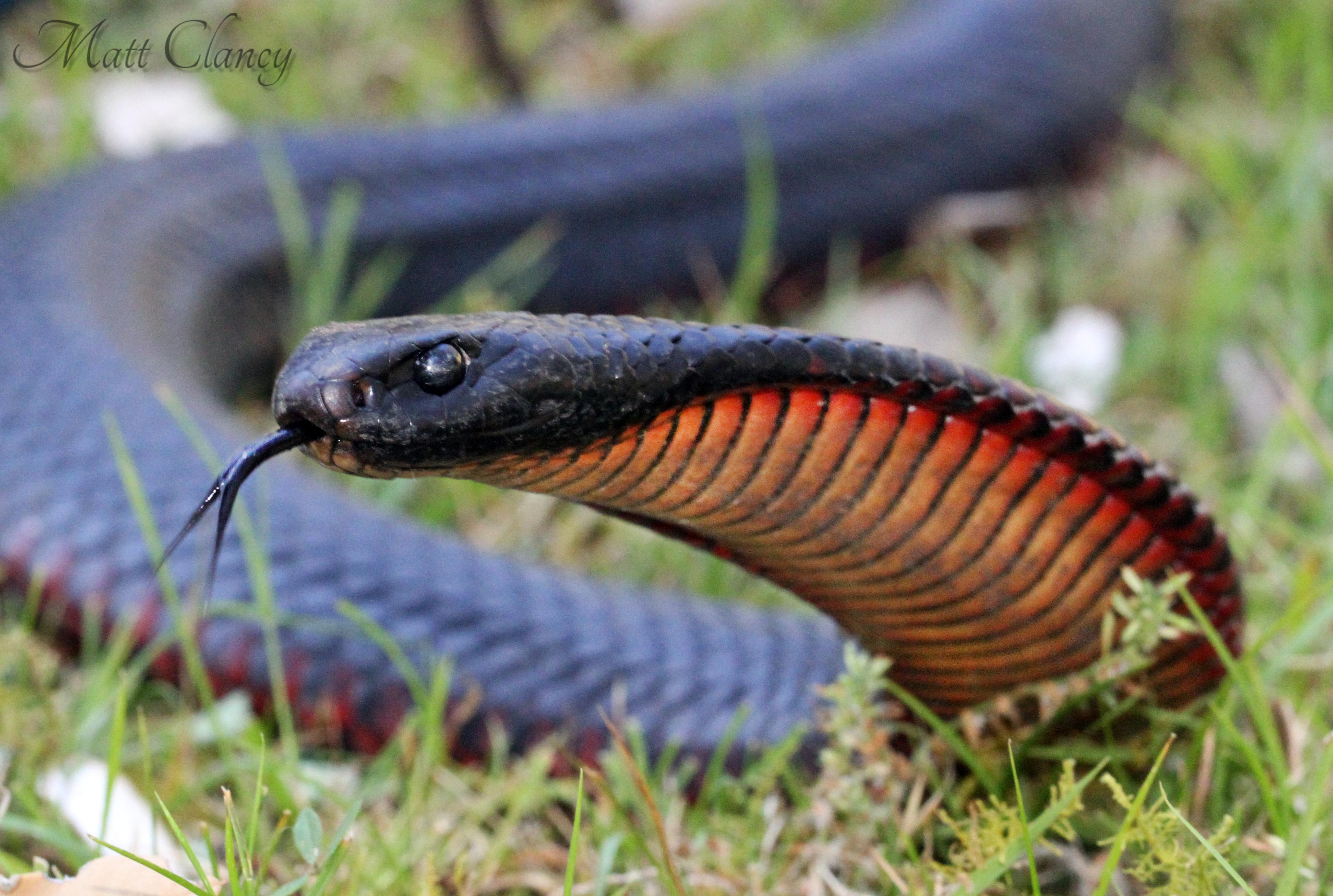 Red-bellied Black Snake svg #16, Download drawings