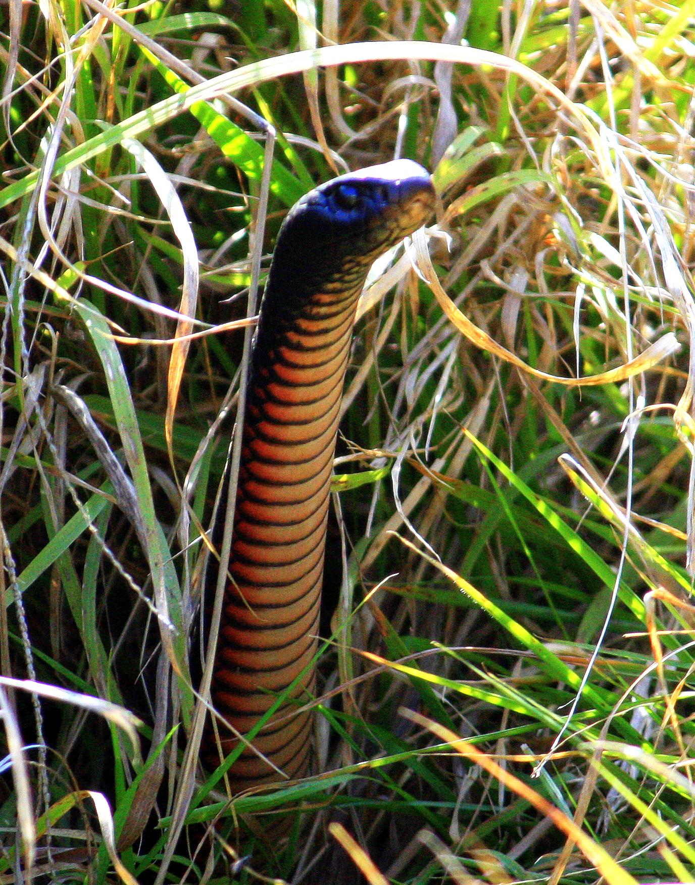 Red-bellied Black Snake svg #13, Download drawings