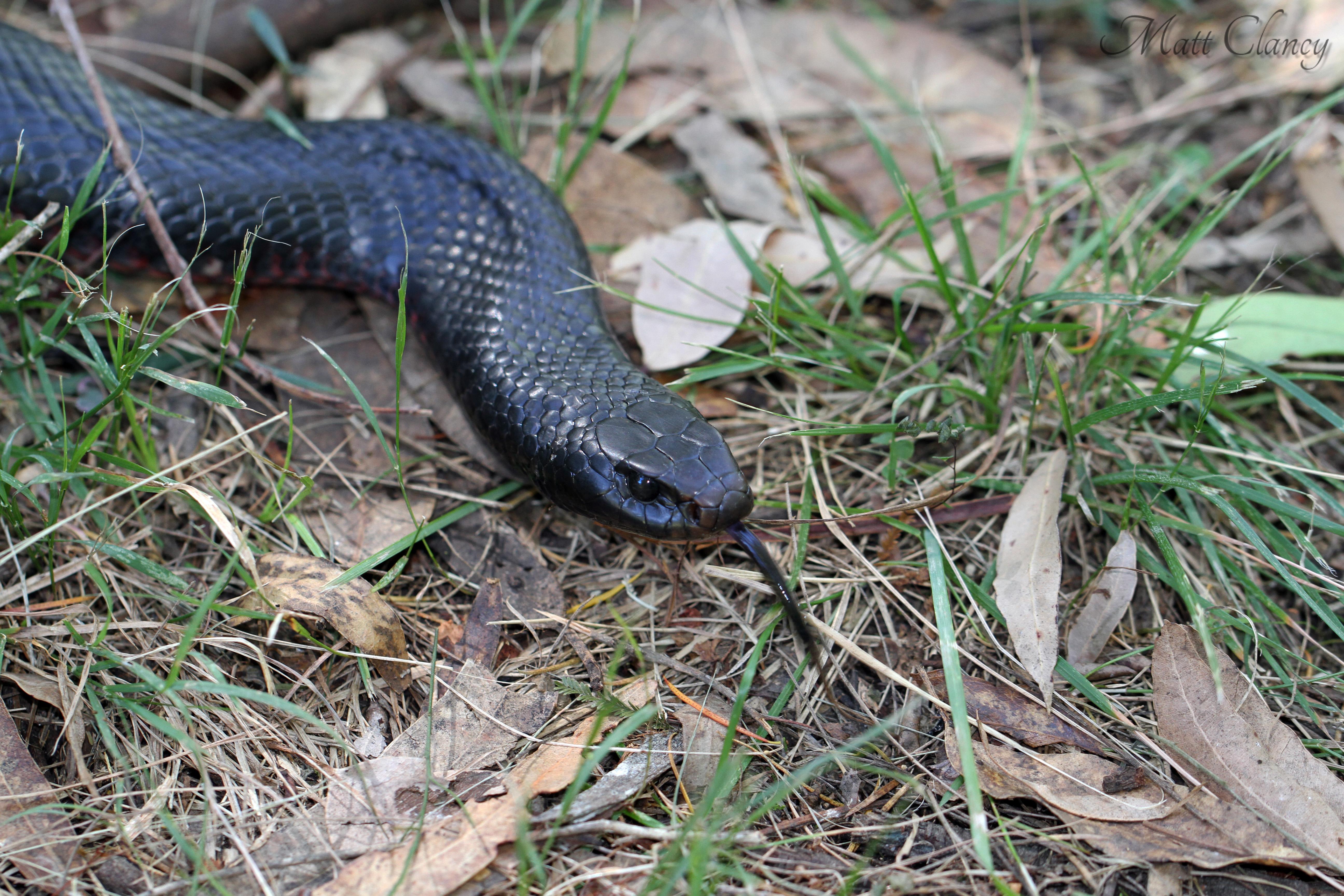 Red-bellied Black Snake svg #4, Download drawings