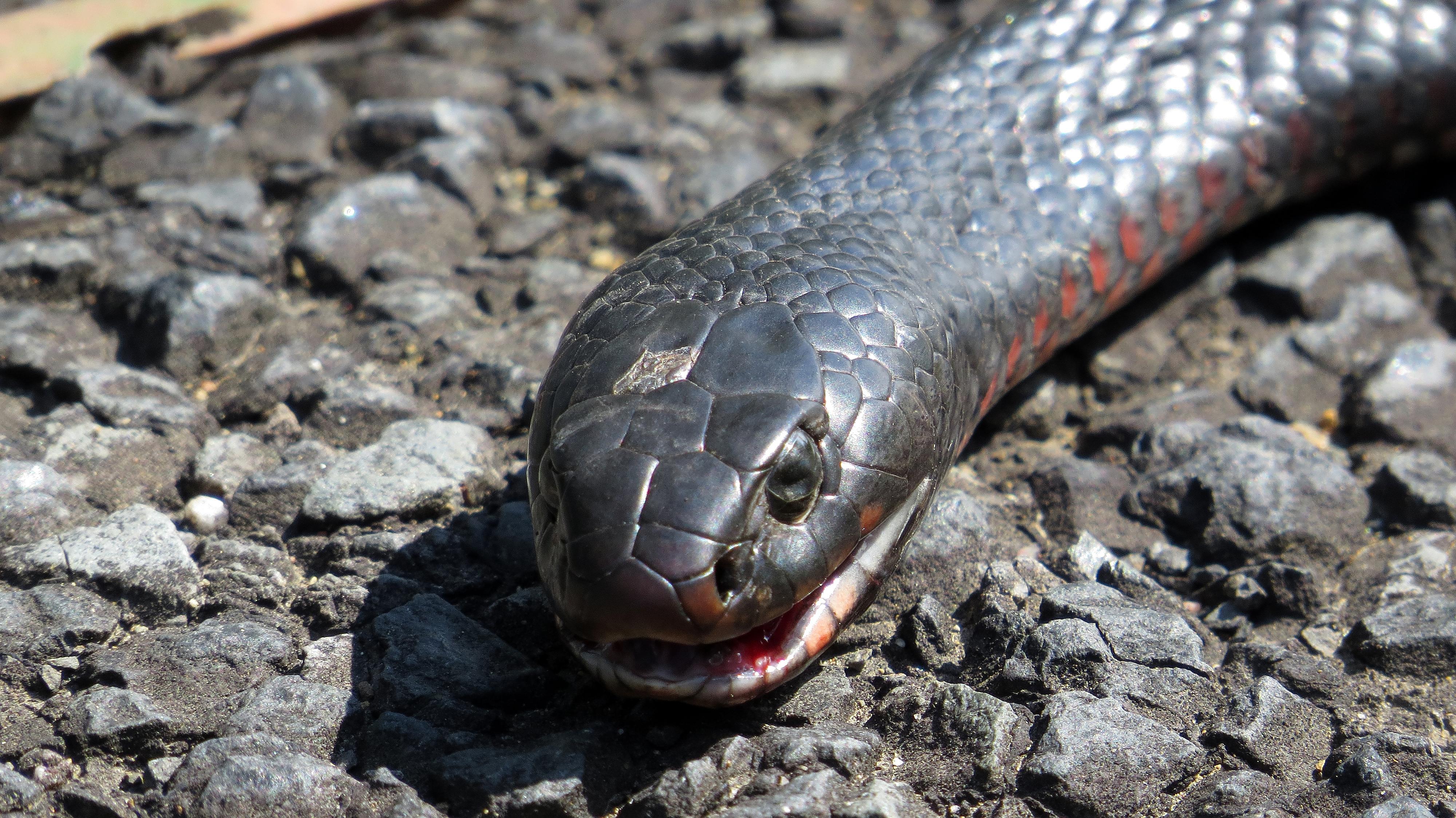 Red-bellied Black Snake svg #9, Download drawings