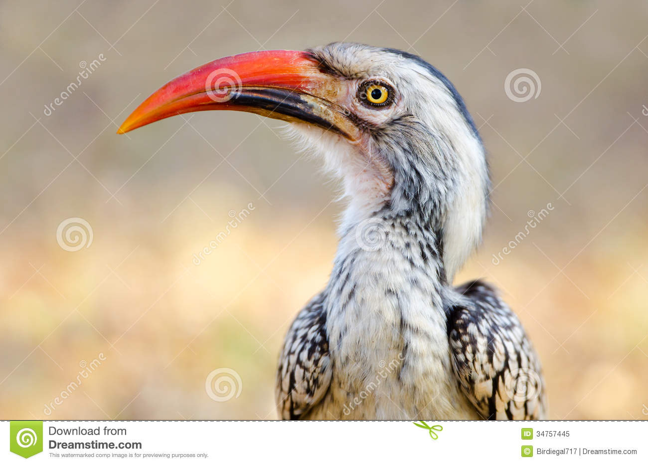 Red-billed Hornbill clipart #8, Download drawings