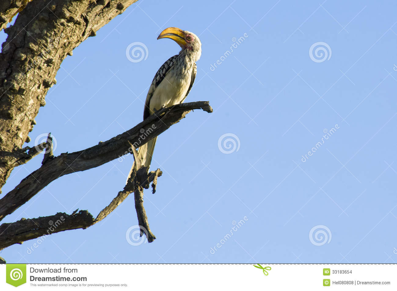 Red-billed Hornbill clipart #12, Download drawings