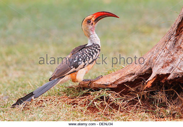 Red-billed Hornbill clipart #3, Download drawings