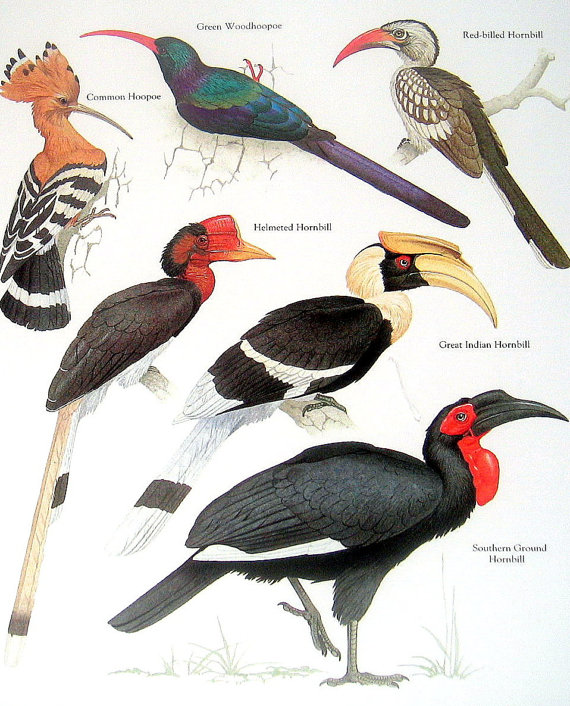 Southern Ground Hornbill clipart #7, Download drawings